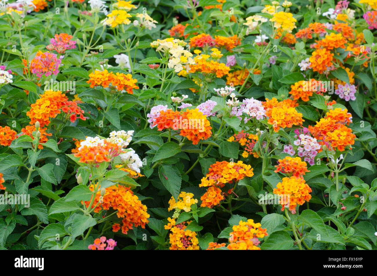 lantana flowers - Stock Image