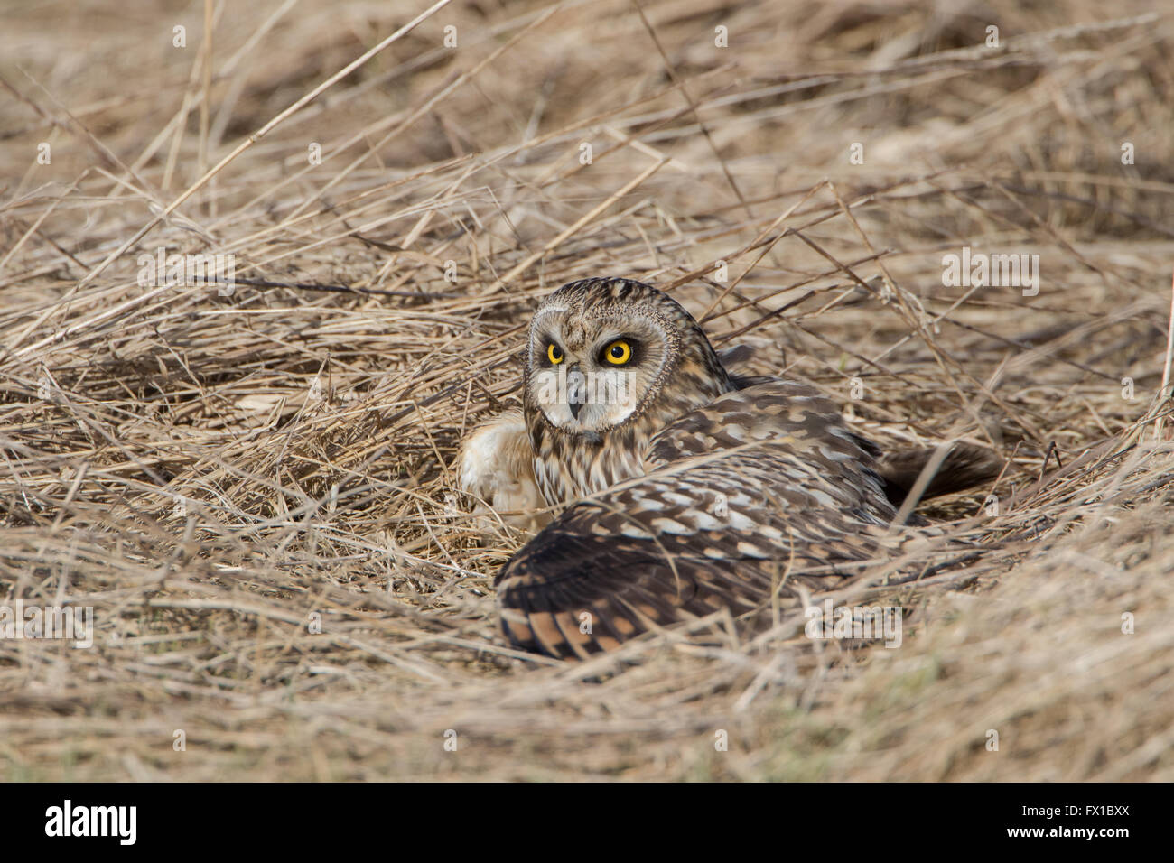 Short-eared owl (Asio flammeus) mantling prey in long grass, in the Cotswolds, Gloucestershire, England, UK. - Stock Image