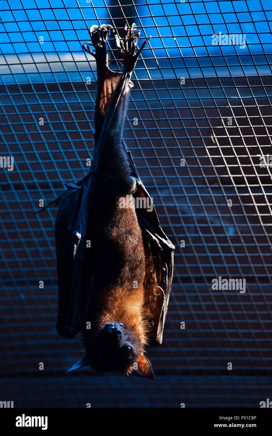 Lyle's flying fox (Pteropus lylei) at Budapest Zoo in Budapest, Hungary. Stock Photo