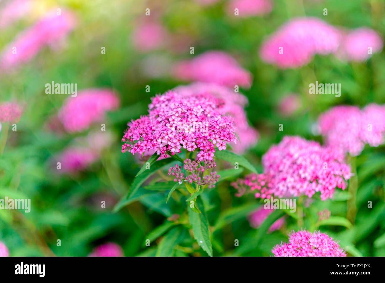 Spiraea japonica shrub with pink blossoms. Oklahoma, USA. - Stock Image