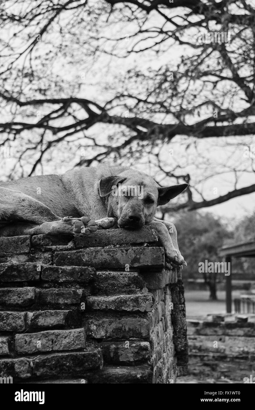 Stray dog in a temple in Ayutthaya - Thailand Stock Photo