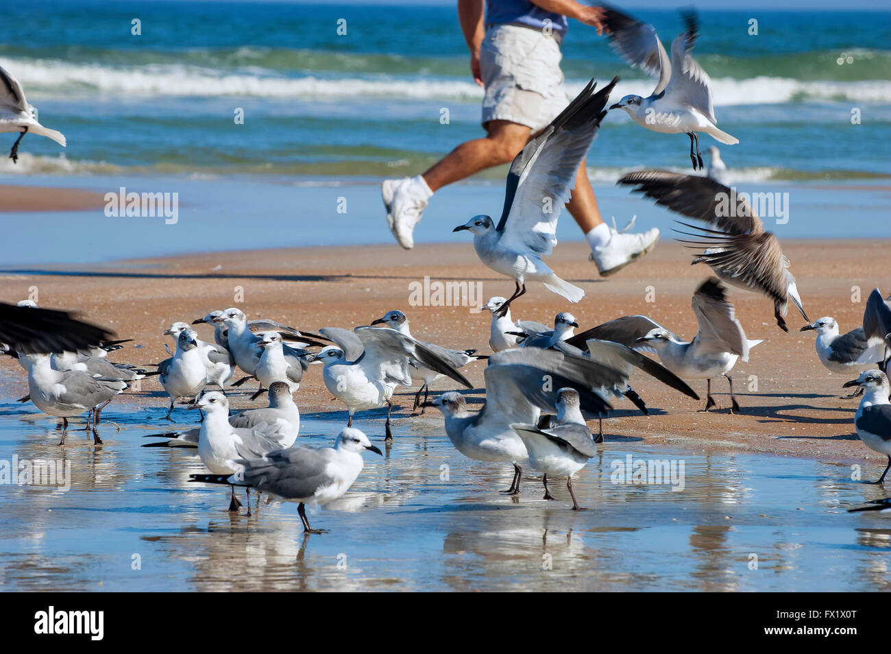 Gulls are birds in the family Laridae. They are most closely related to the terns (family Sternidae) and only distantly - Stock Image