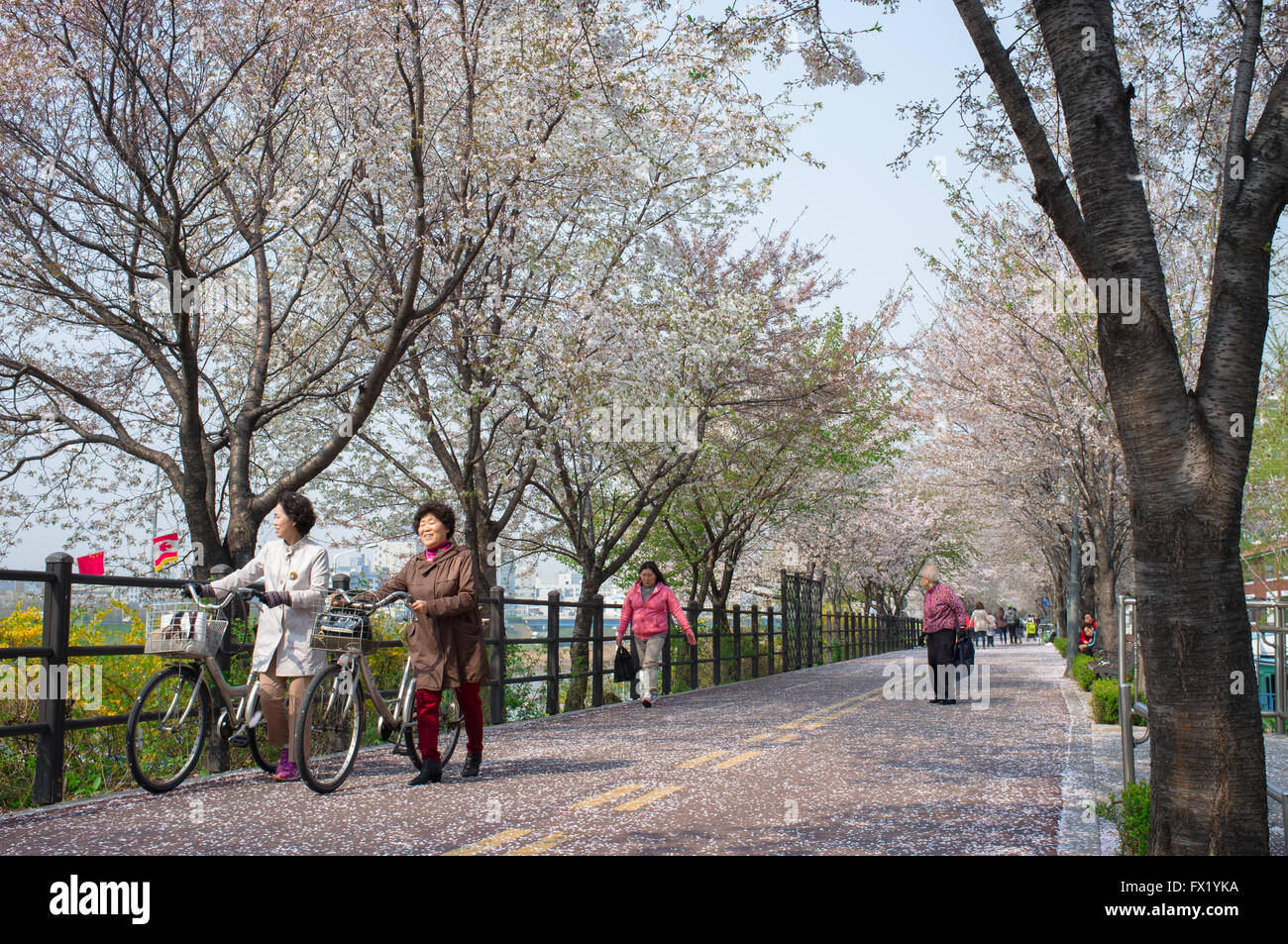 Two elderly ladies walk their bikes and enjoy the cherry blossoms in the Gwangjin-gu neighbourhood of Seoul, South - Stock Image