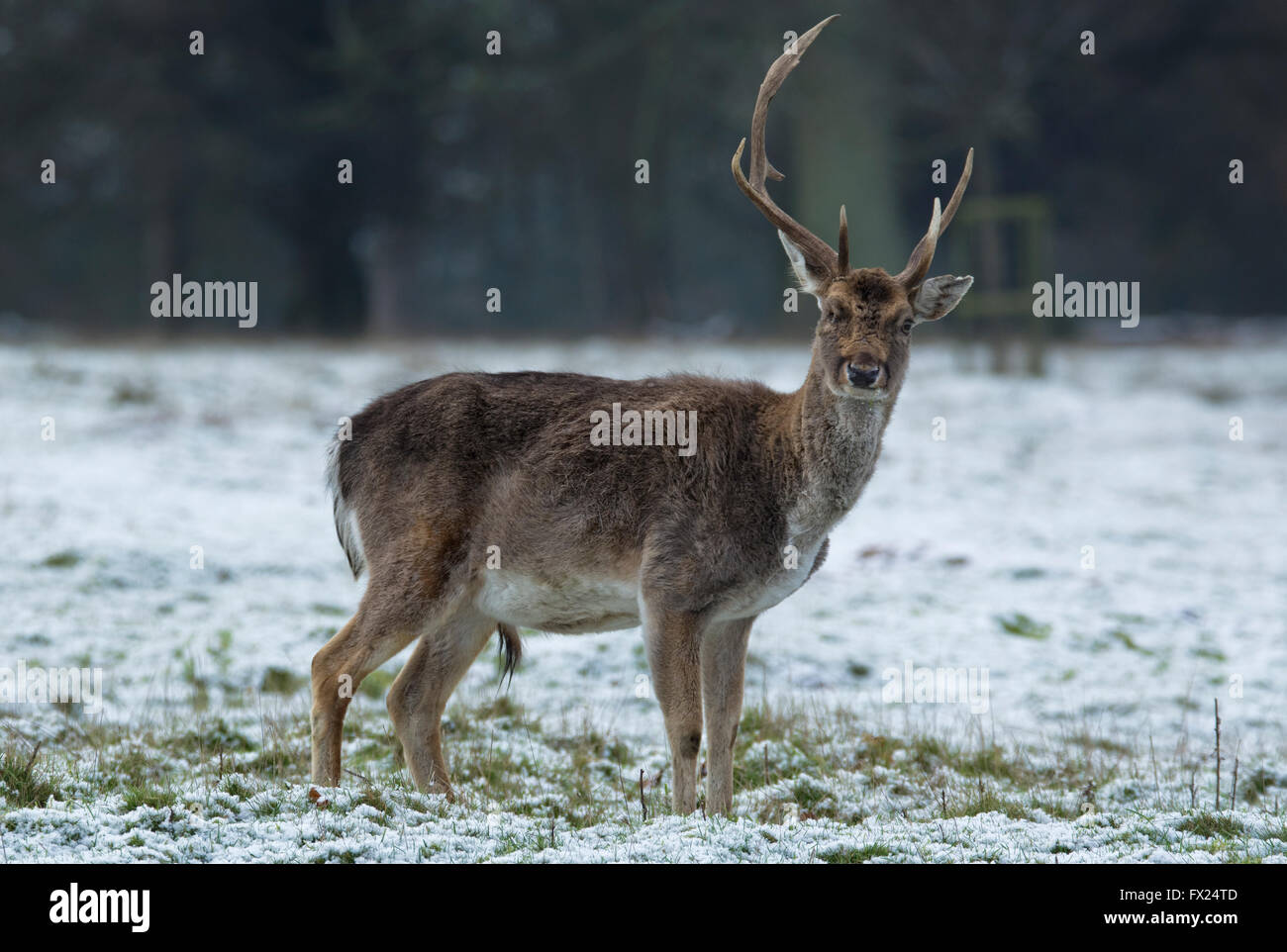 Injured stag in winter - Stock Image