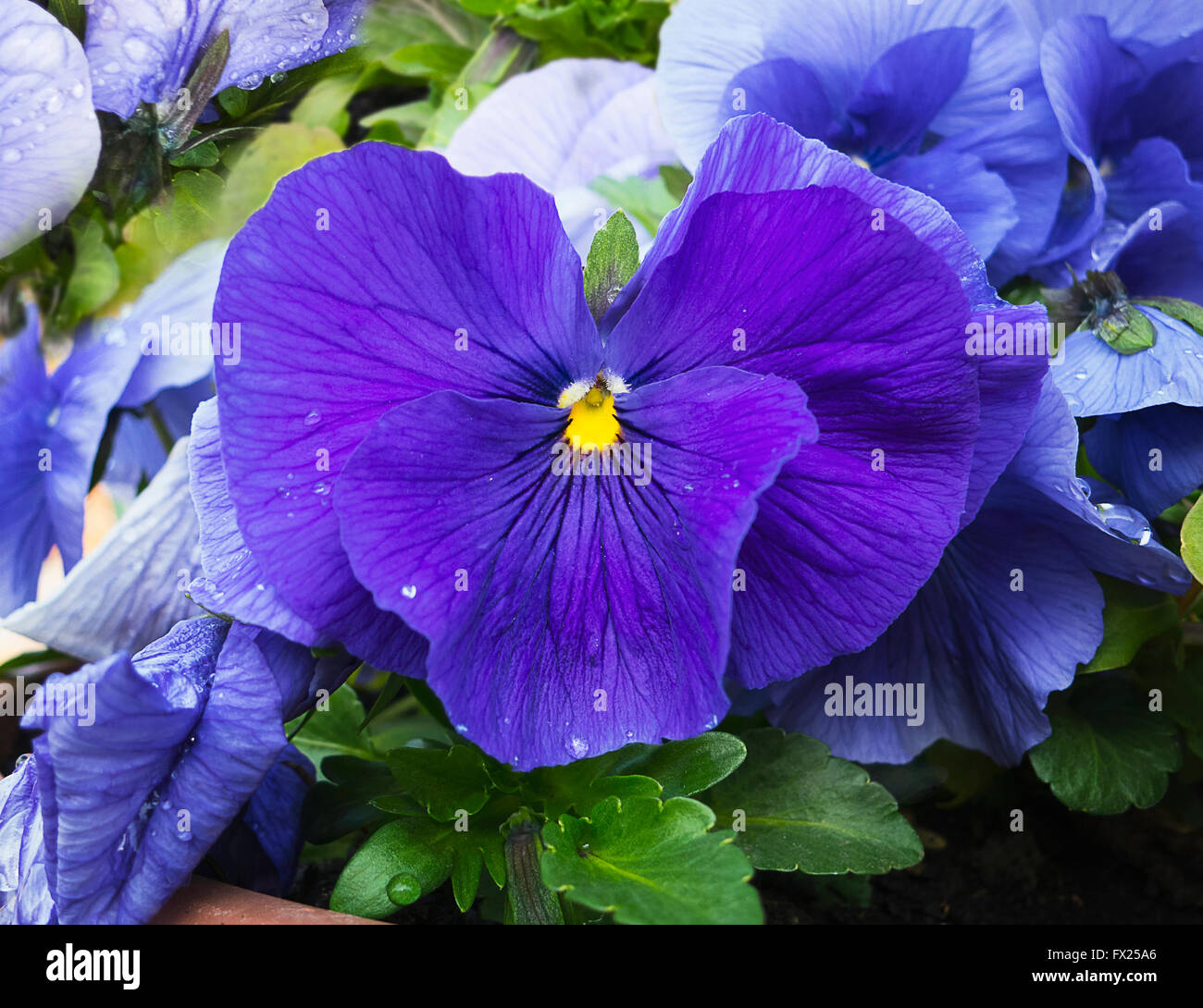 Blue and violet pansies flowers in garden with dew drops on petals. Closeup. View from top. Slightly blurred background. Stock Photo