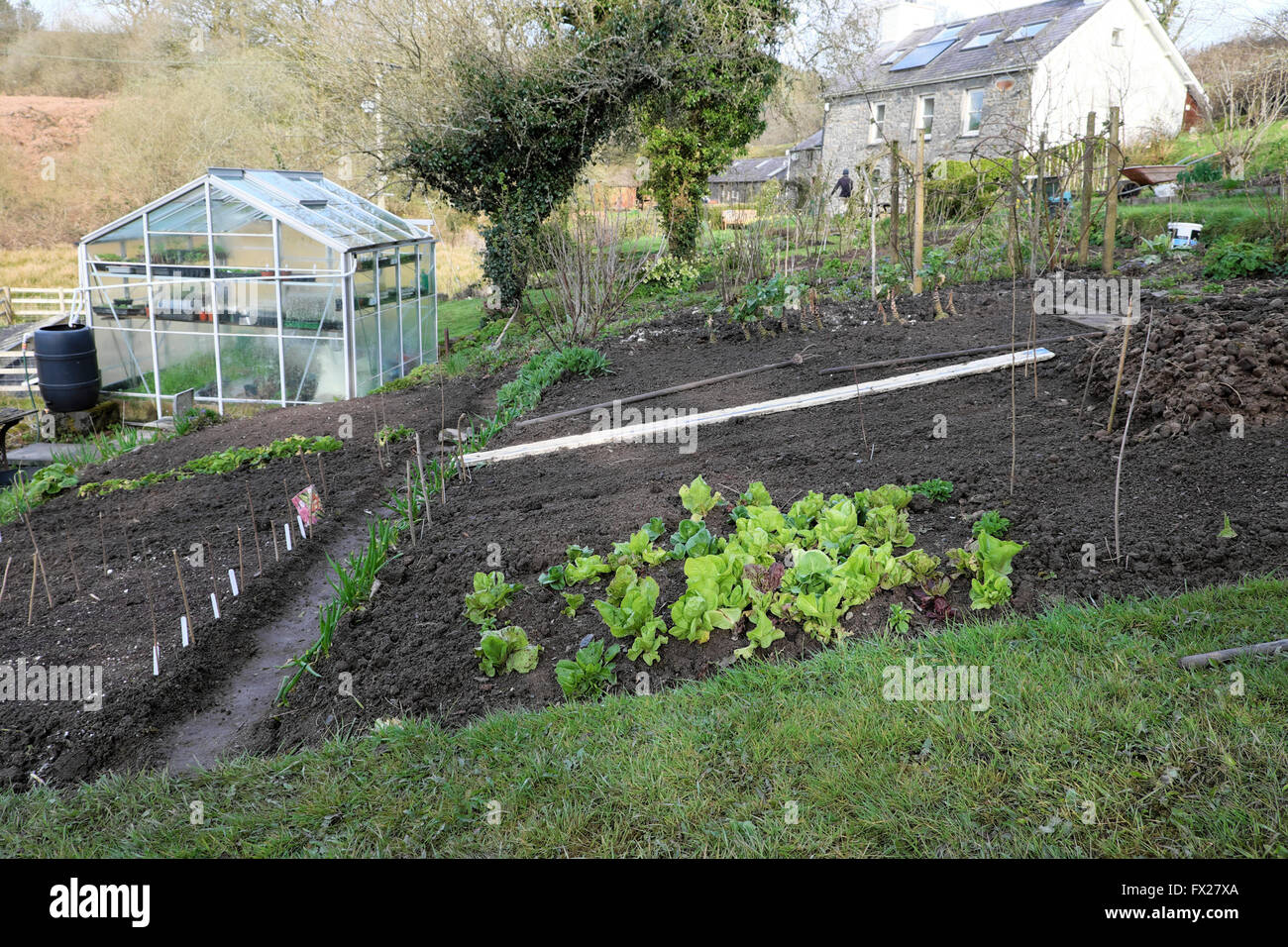 View of early lettuces growing outside in a kitchen garden veg plot patch in springtime Carmarthenshire, Wales UK - Stock Image