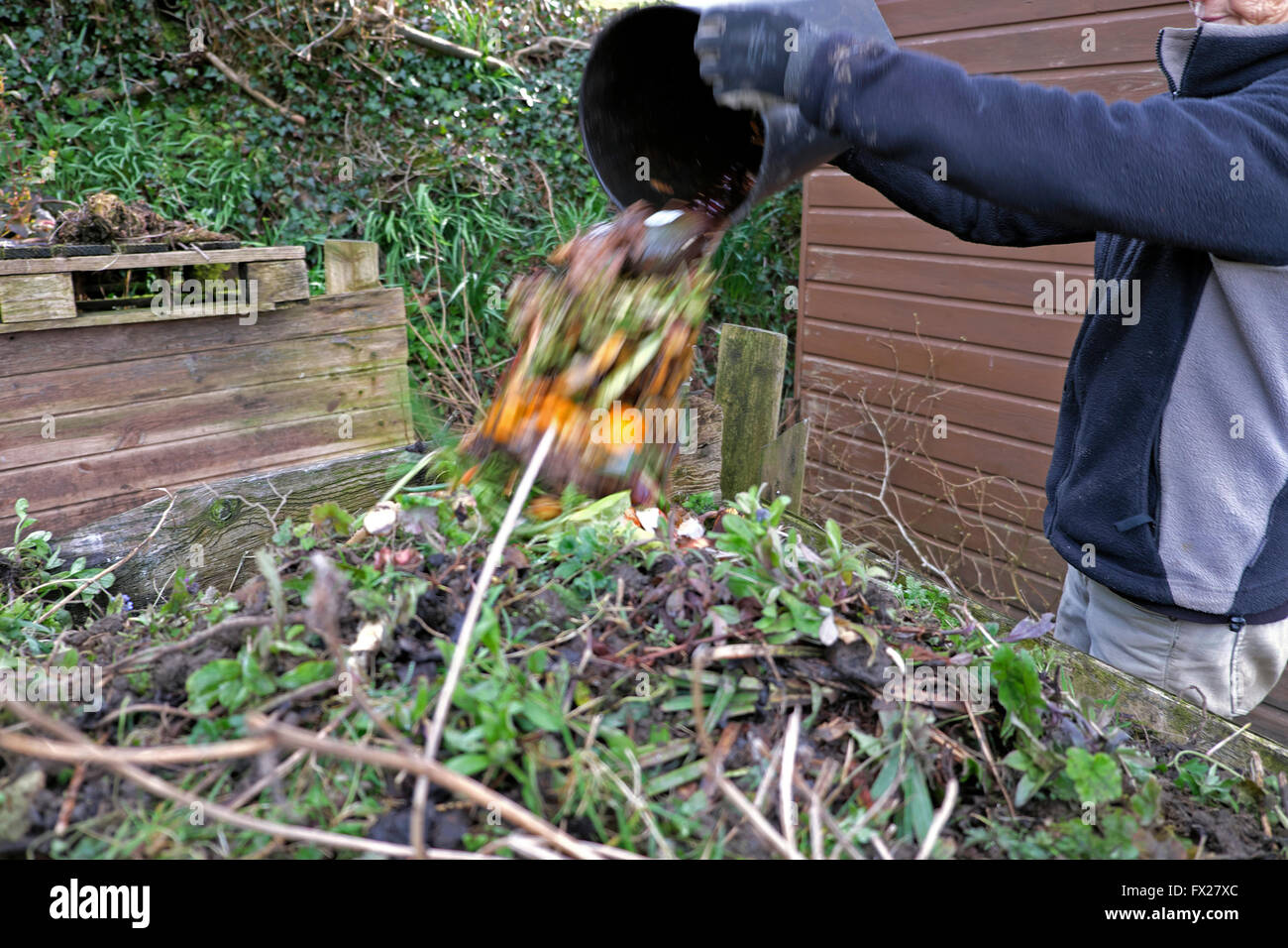 Woman emptying a bucket to recycle vegetable kitchen waste into a garden compost bin in springtime Wales UK  KATHY - Stock Image