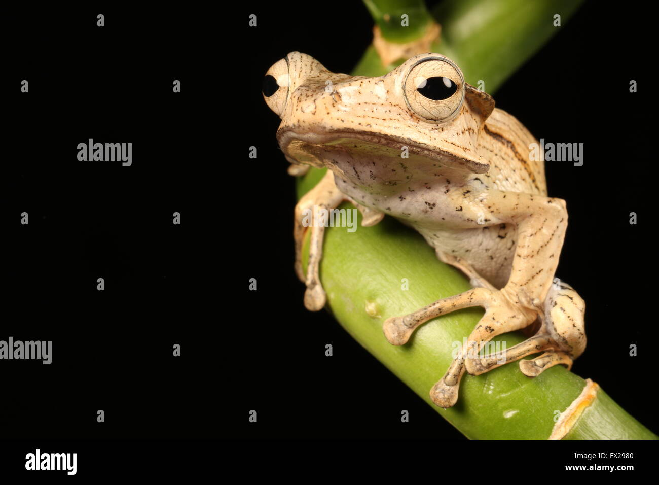 brown tree frog on bamboo - Stock Image