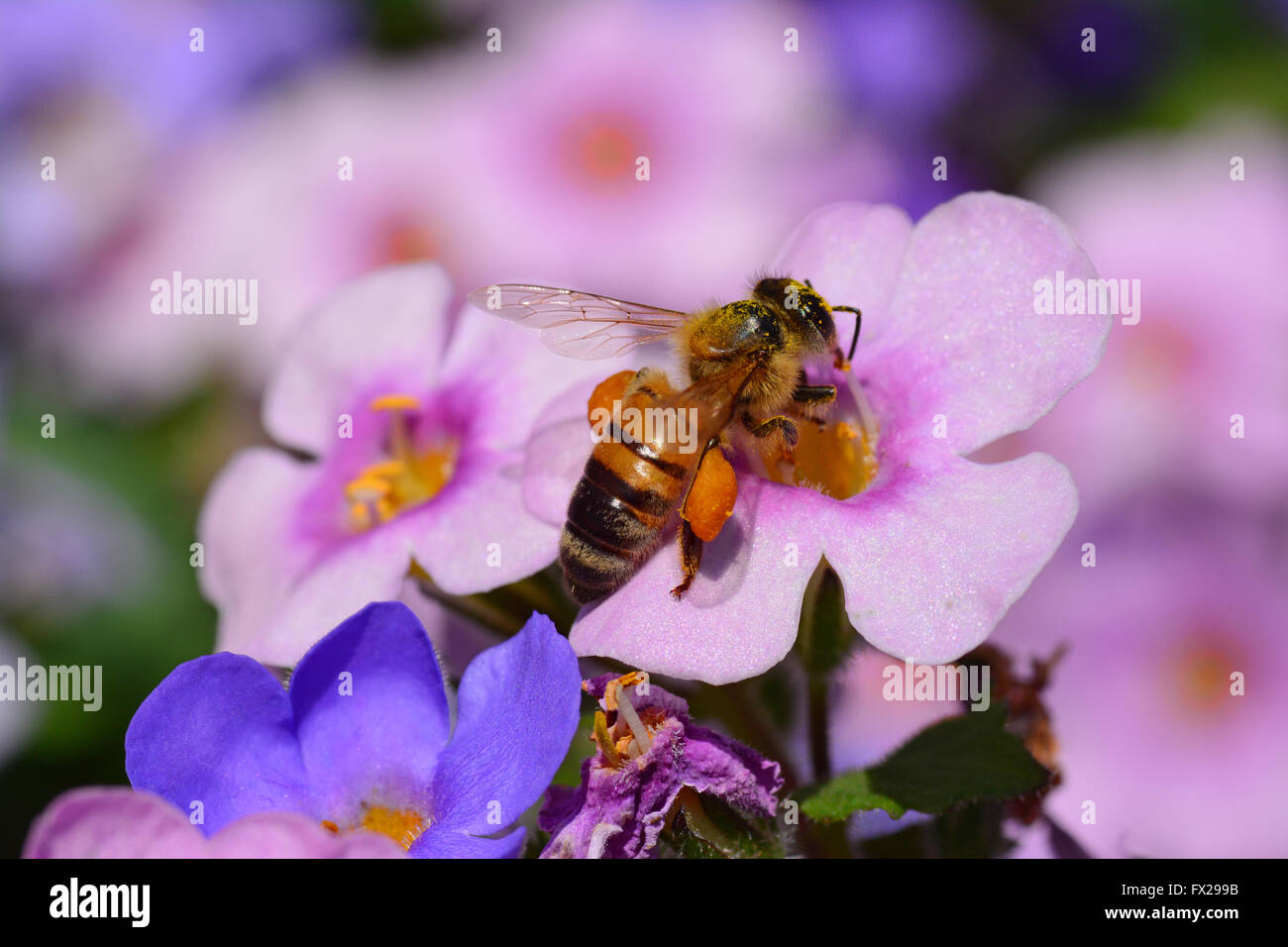 Bee pollinating pink flower, Close-up - Stock Image