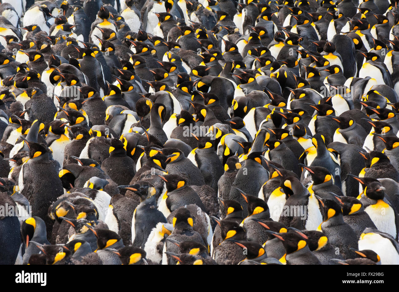 King penguin (Aptenodytes patagonicus) colony, St. Andrews Bay, South Georgia Island - Stock Image