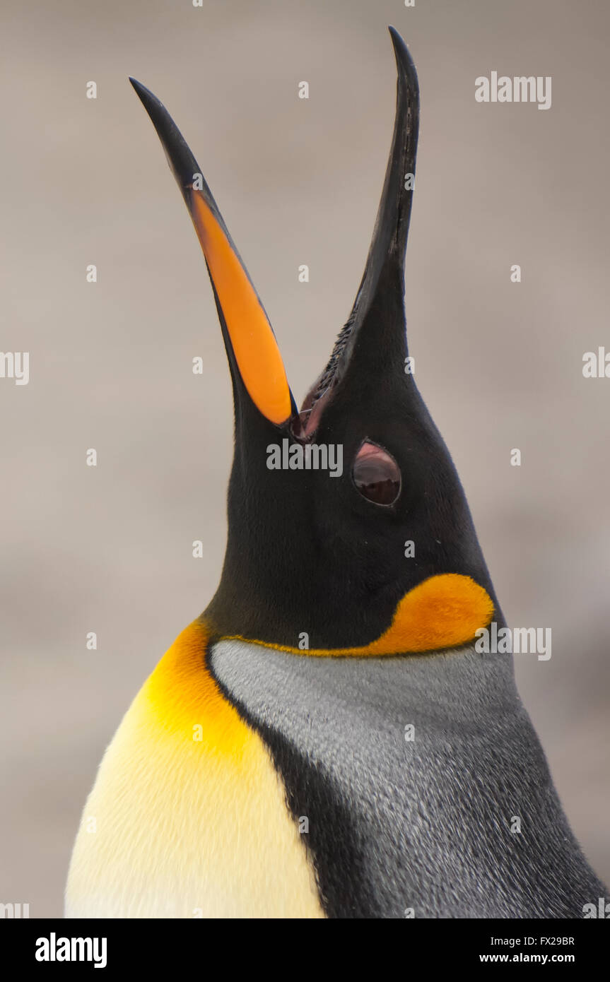 King penguin (Aptenodytes patagonicus) callling, St. Andrews Bay, South Georgia Island - Stock Image