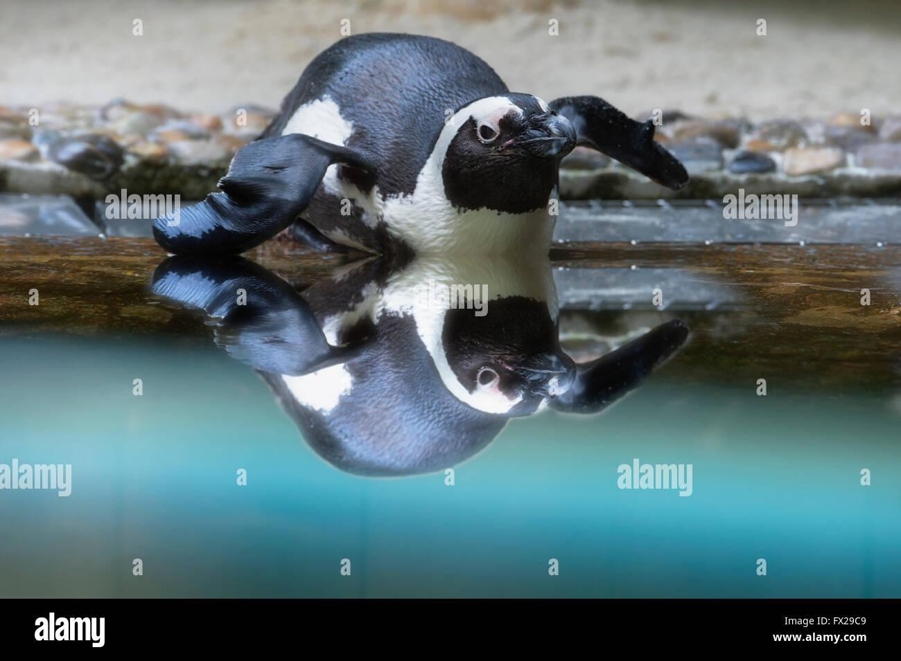 African penguin or Jackass penguin (Spheniscus demersus) reflecting in the water - Stock Image