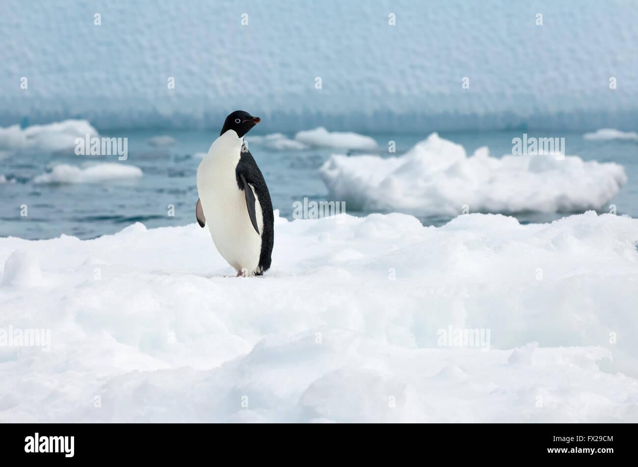 Adelie penguin (Pygoscelis adeliae) standing on an iceberg, Paulet Island, Erebus and Terror Gulf, Antarctic peninsula - Stock Image