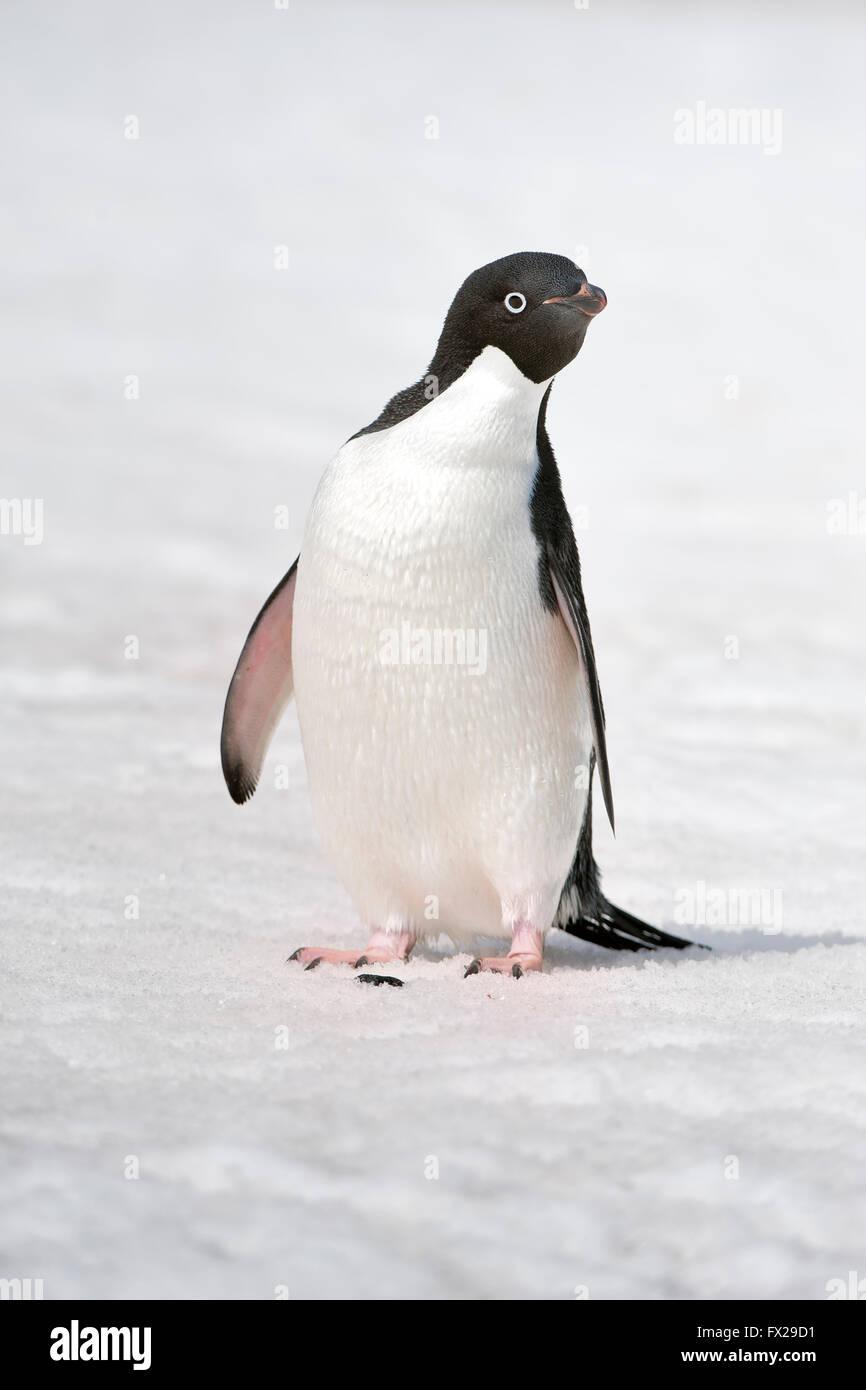Adelie Penguin (Pygoscelis adeliae), Paulet Island, Erebus and Terror Gulf, Antarctic peninsula - Stock Image