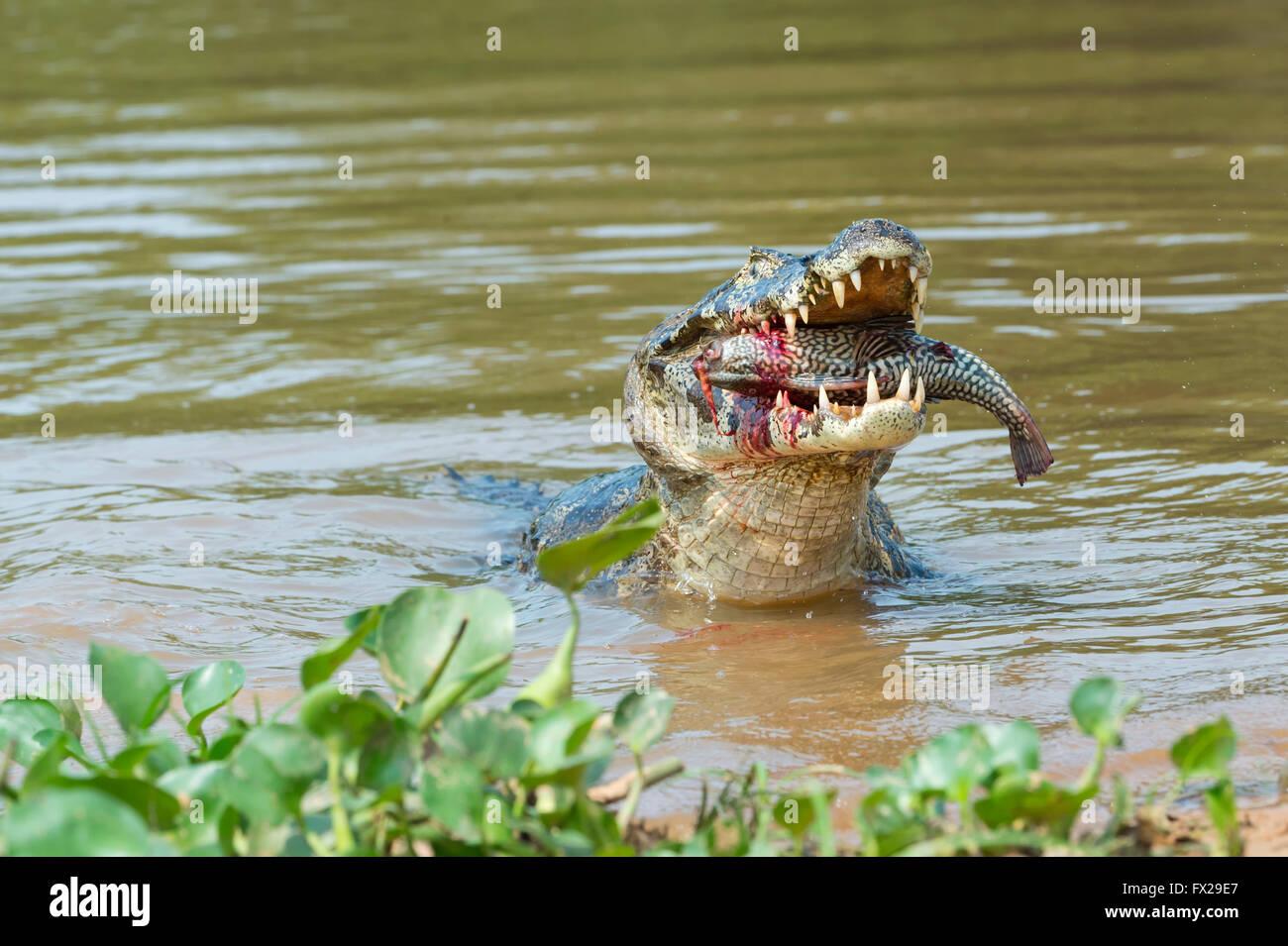 Yacare caiman (Caiman yacare) devouring a fish, Cuiaba river, Pantanal, Brazil - Stock Image