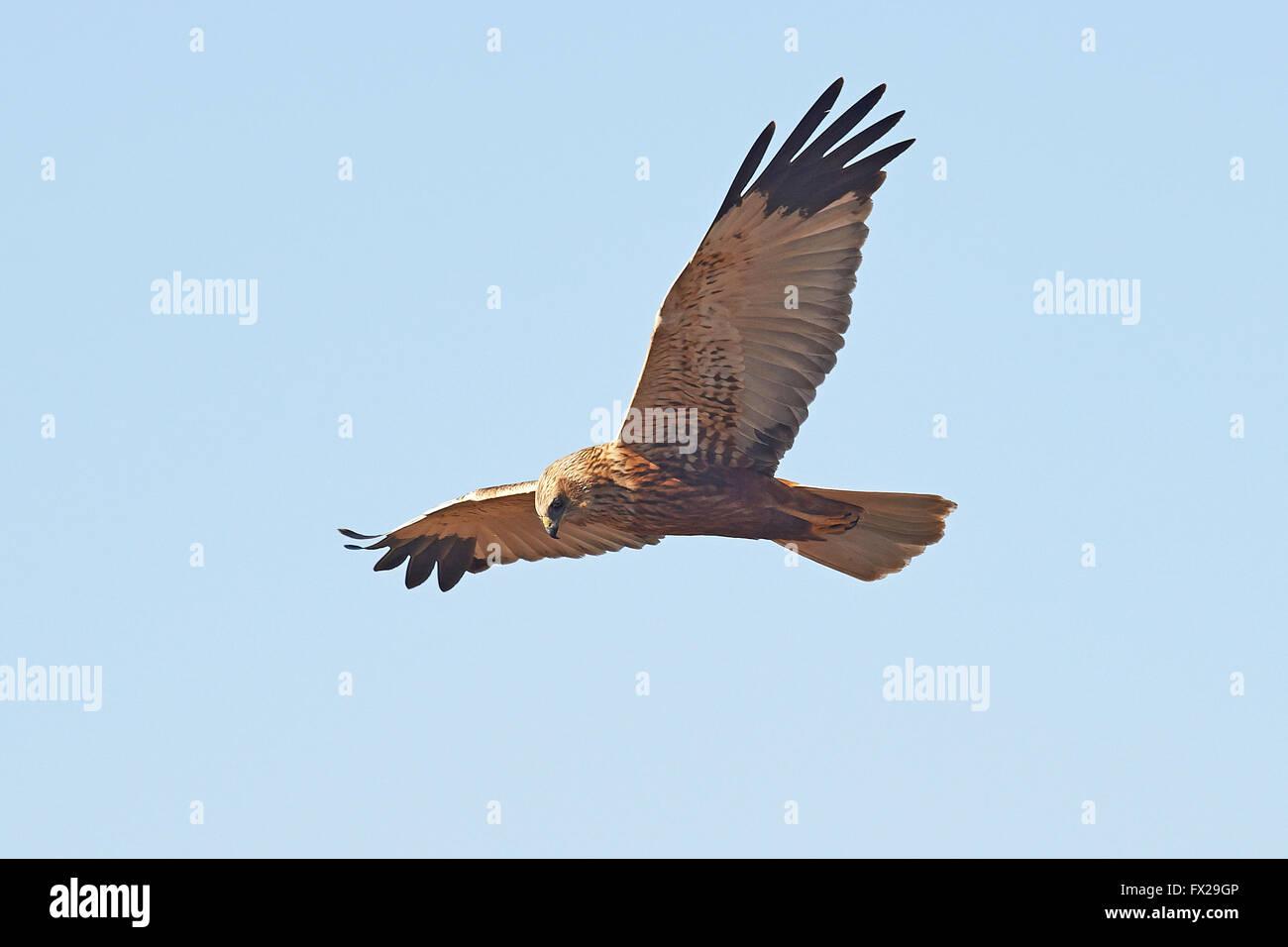 Western Marsh Harrier in flight Stock Photo