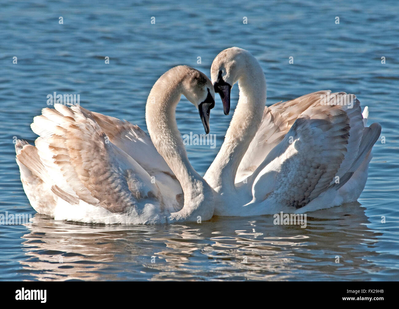 Mute Swans making heart with their necks Stock Photo