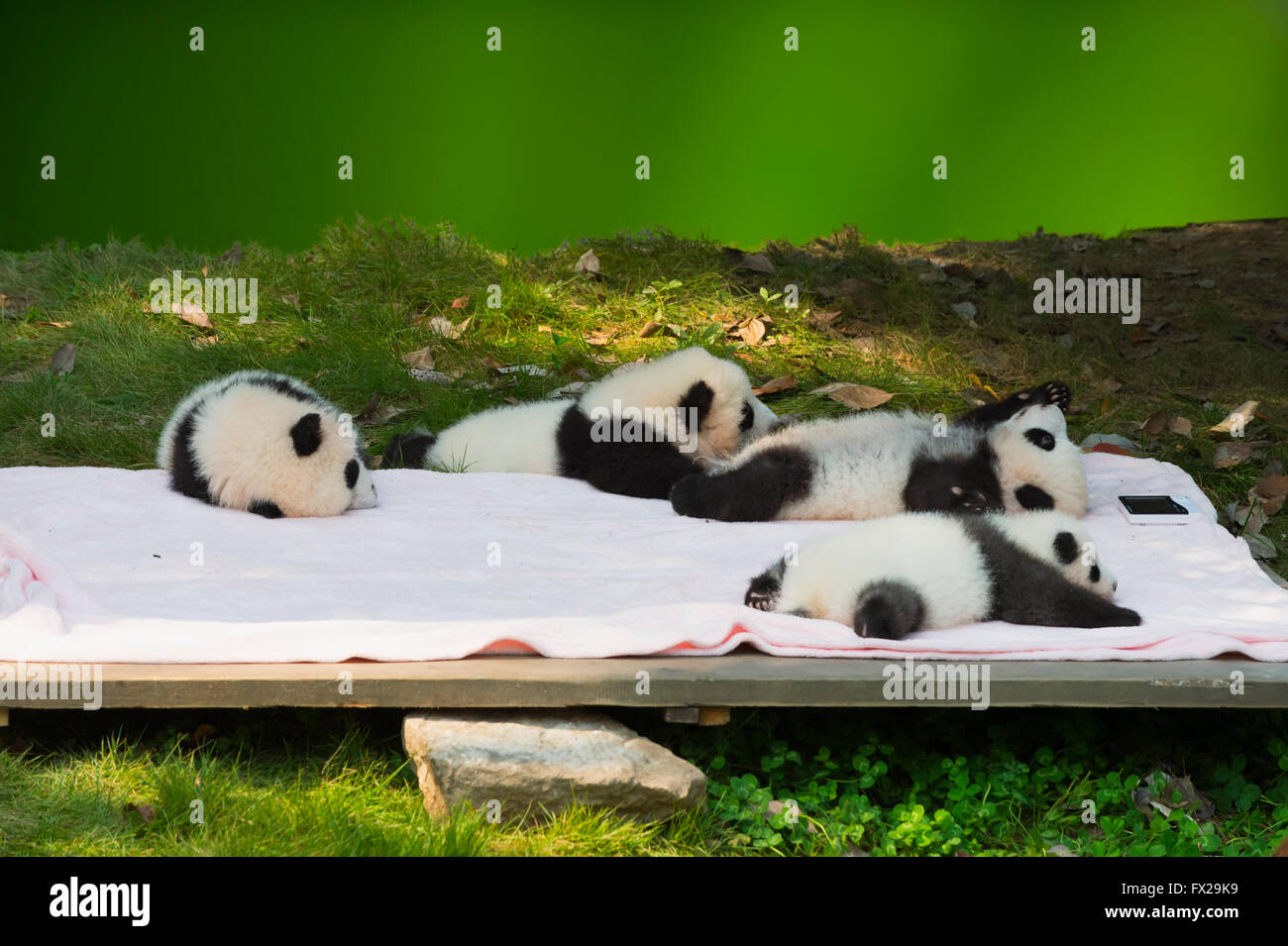 Baby Pandas (Ailuropoda melanoleuca) in the Chengdu Giant Panda Breeding Center, China Conservation and Research - Stock Image
