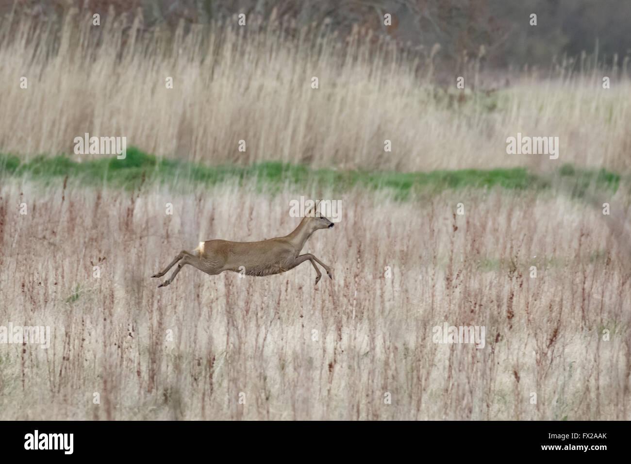 European roe deer hind (Capreolus capreolus) bounding across a meadow. - Stock Image