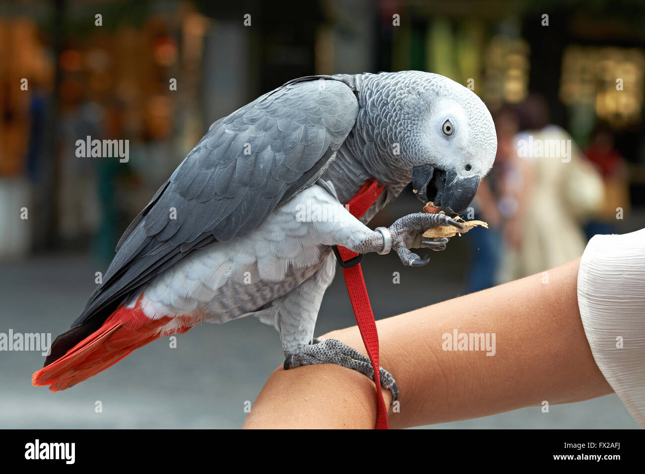 Domesticated Congo African Grey Parrot - Stock Image