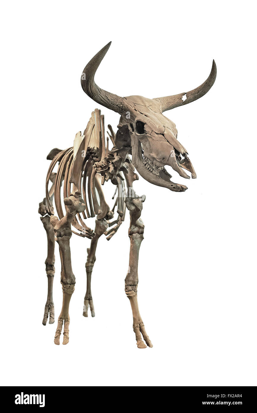 The skeleton of an extinct Aurochs on a white background - Stock Image