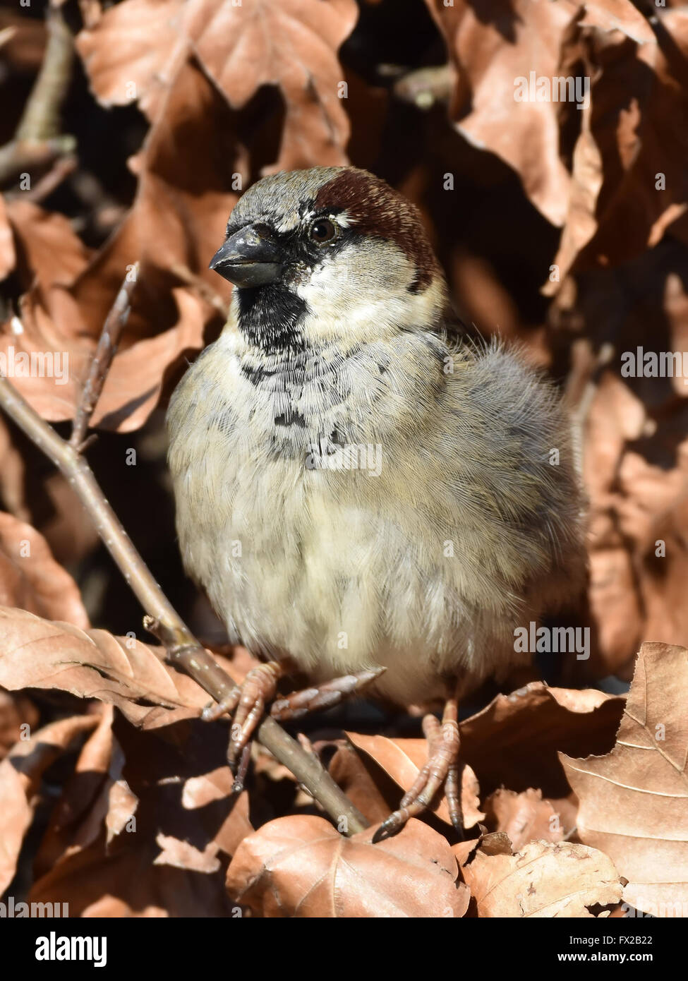 House sparrow resting in a bush with withered leaves around it - Stock Image