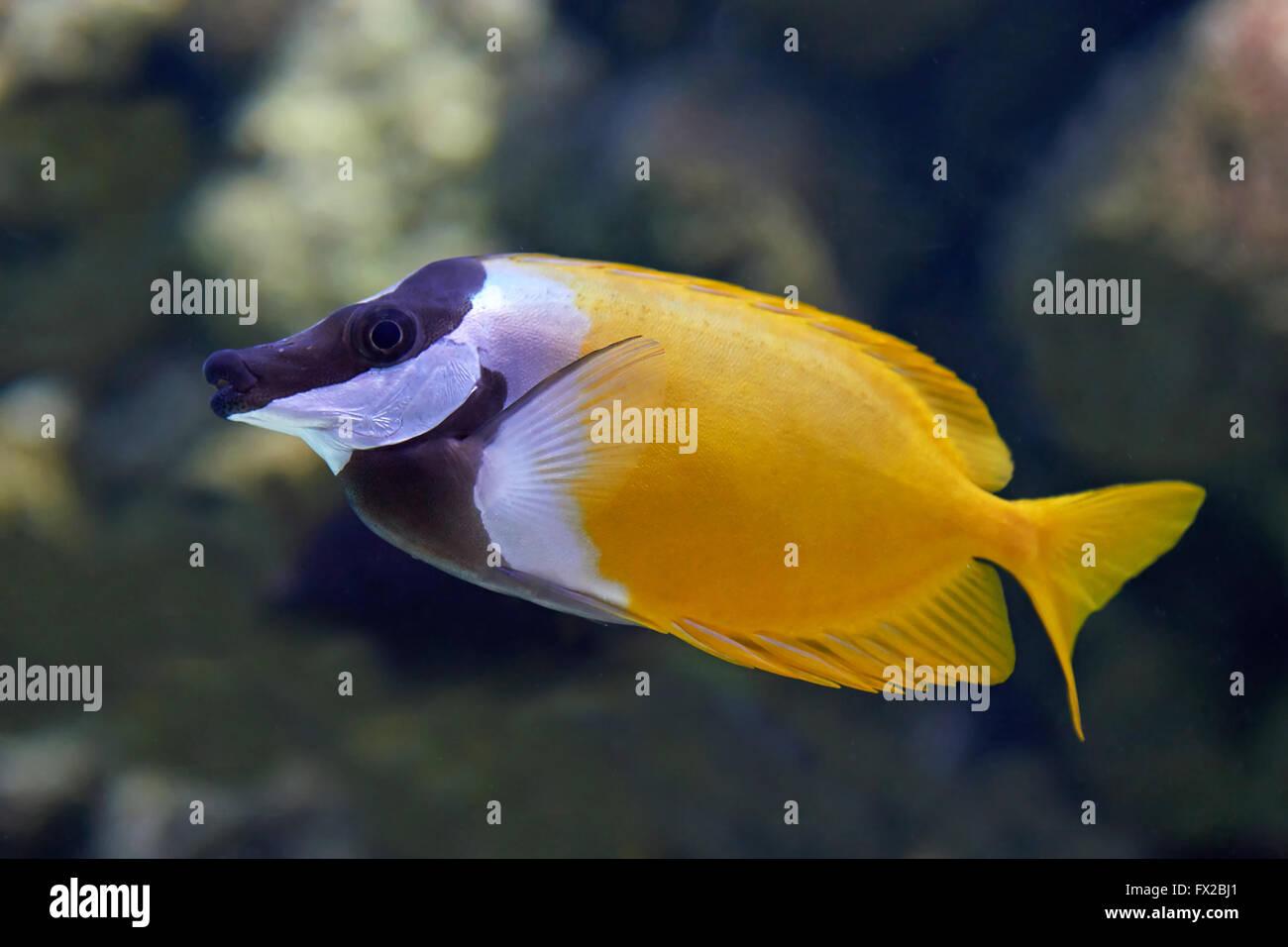 foxface fish stock photos foxface fish stock images alamy