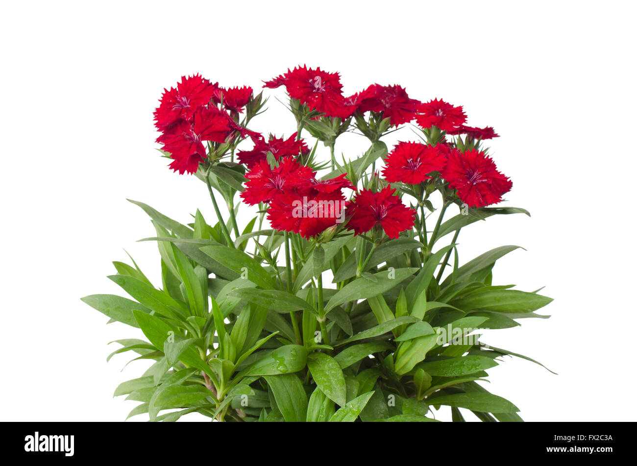 Red White Sweet William Flower Stock Photos Red White Sweet