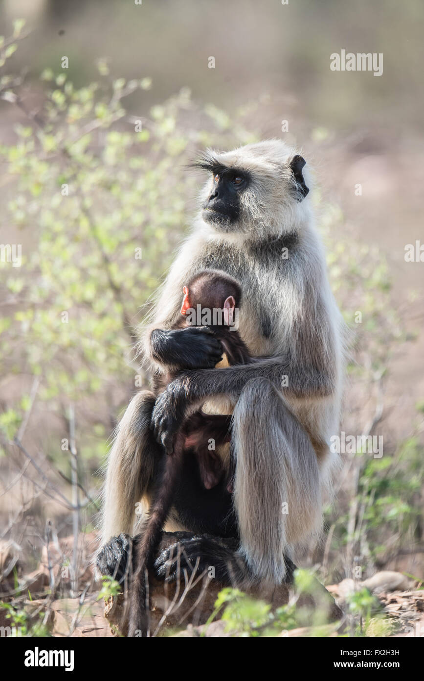 Grey Faced Langoor with baby - Stock Image