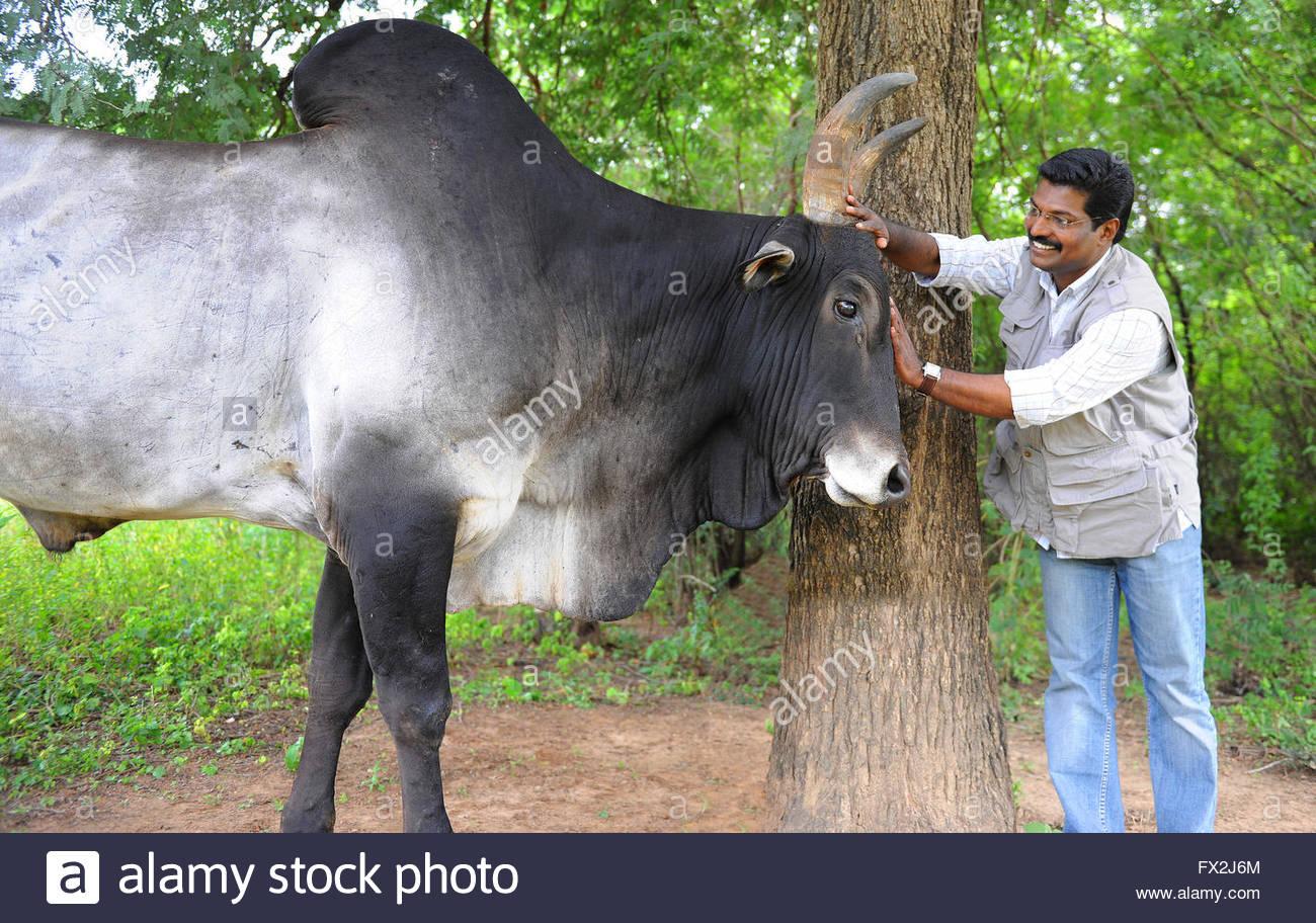 J Suresh renowned Jallikattu Photographer from South India. Suresh has covered India's own bullfight, Jallikattu, - Stock Image