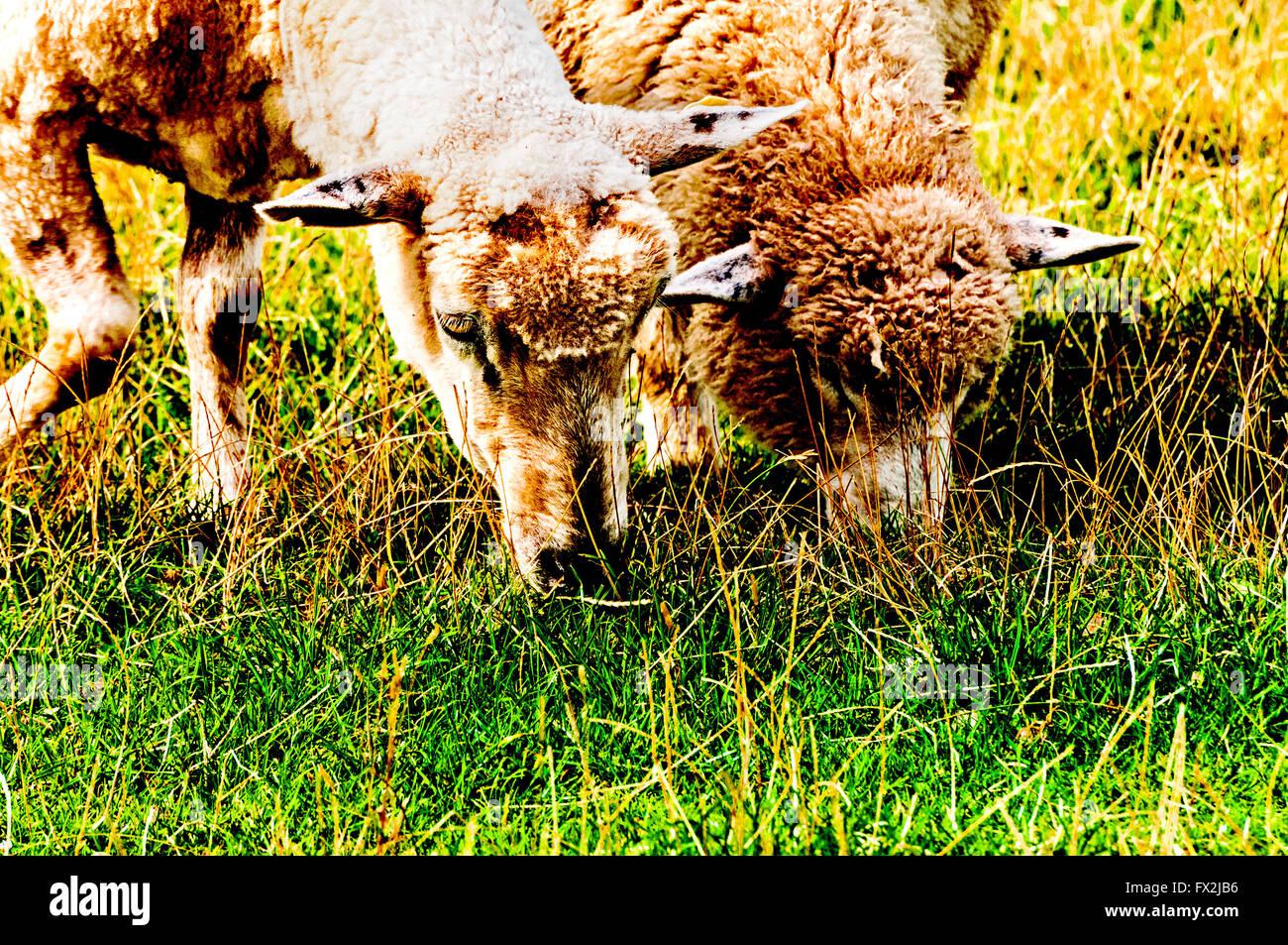 Sheeps grazing on a dyke in northern Germany; Schafe grasen auf einem Deich in Norddeutschland - Stock Image
