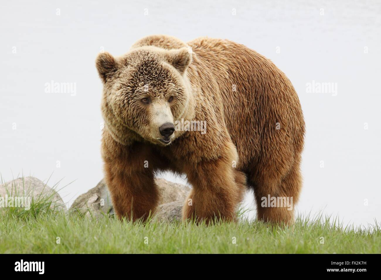 Brown bear in nature - Stock Image