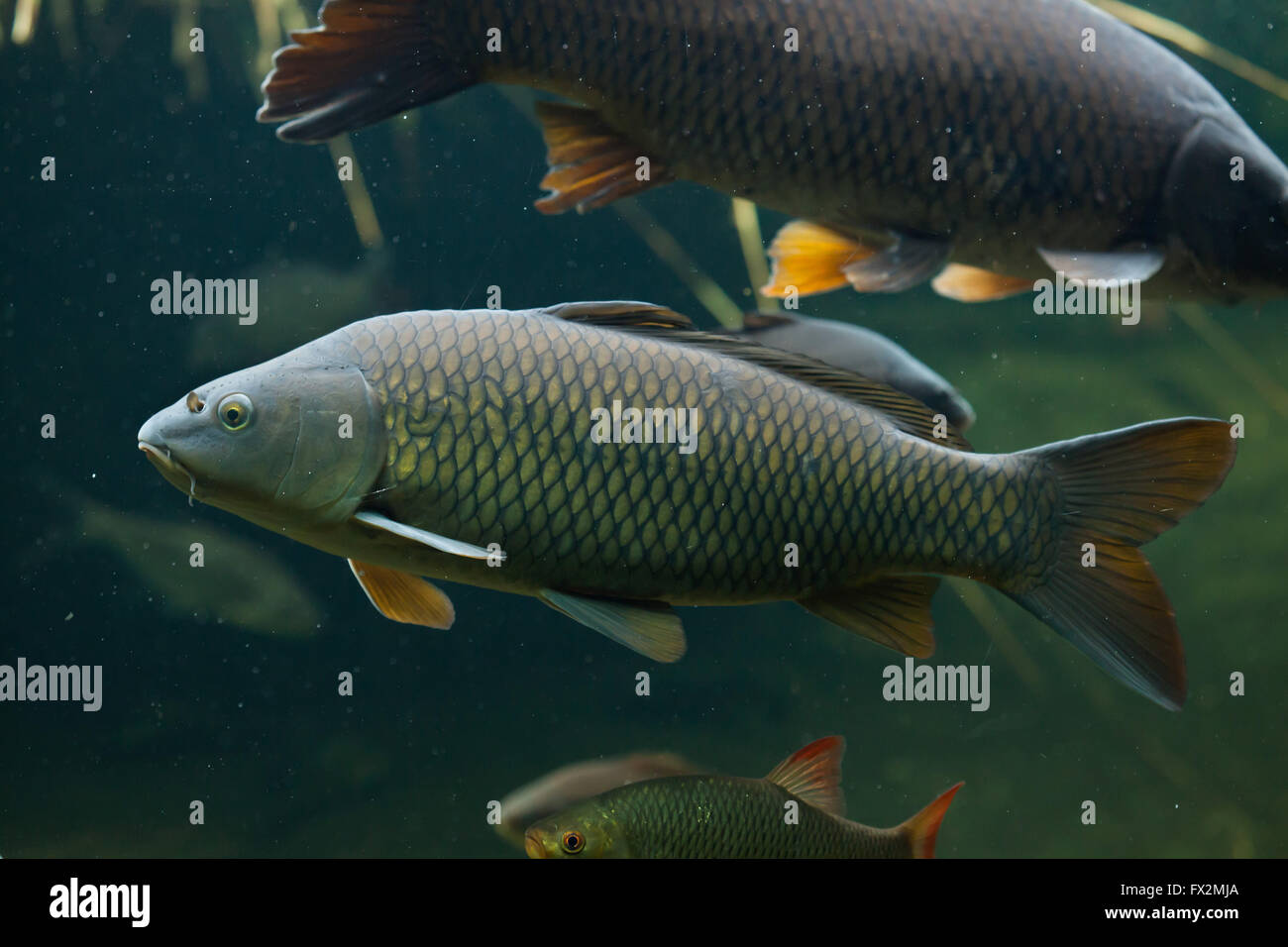 Wild common carp (Cyprinus carpio) at Budapest Zoo in Budapest, Hungary. Stock Photo