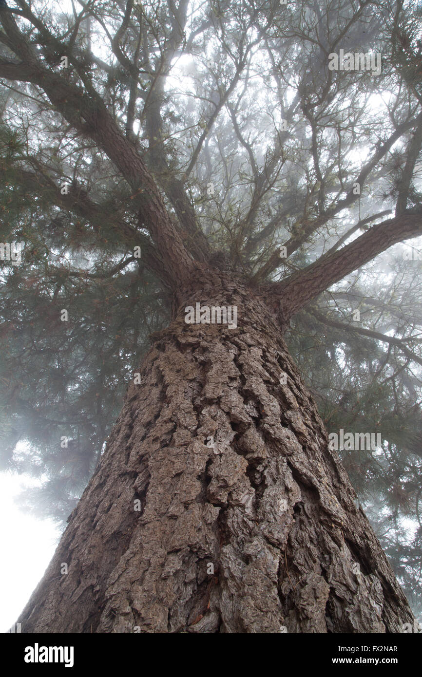 looking up into an old Monterey pine tree where the top is in the mist - Stock Image