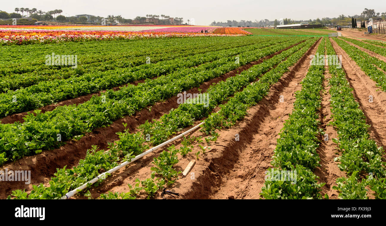 Rows of green plants. Farming, irrigation pip[line. Stock Photo