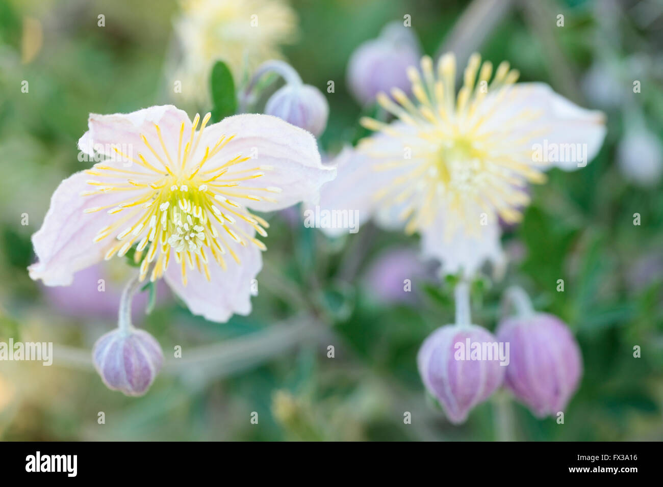 Wild Clematis (Clematis x Clematopsis) - Buttercup Family Stock Photo