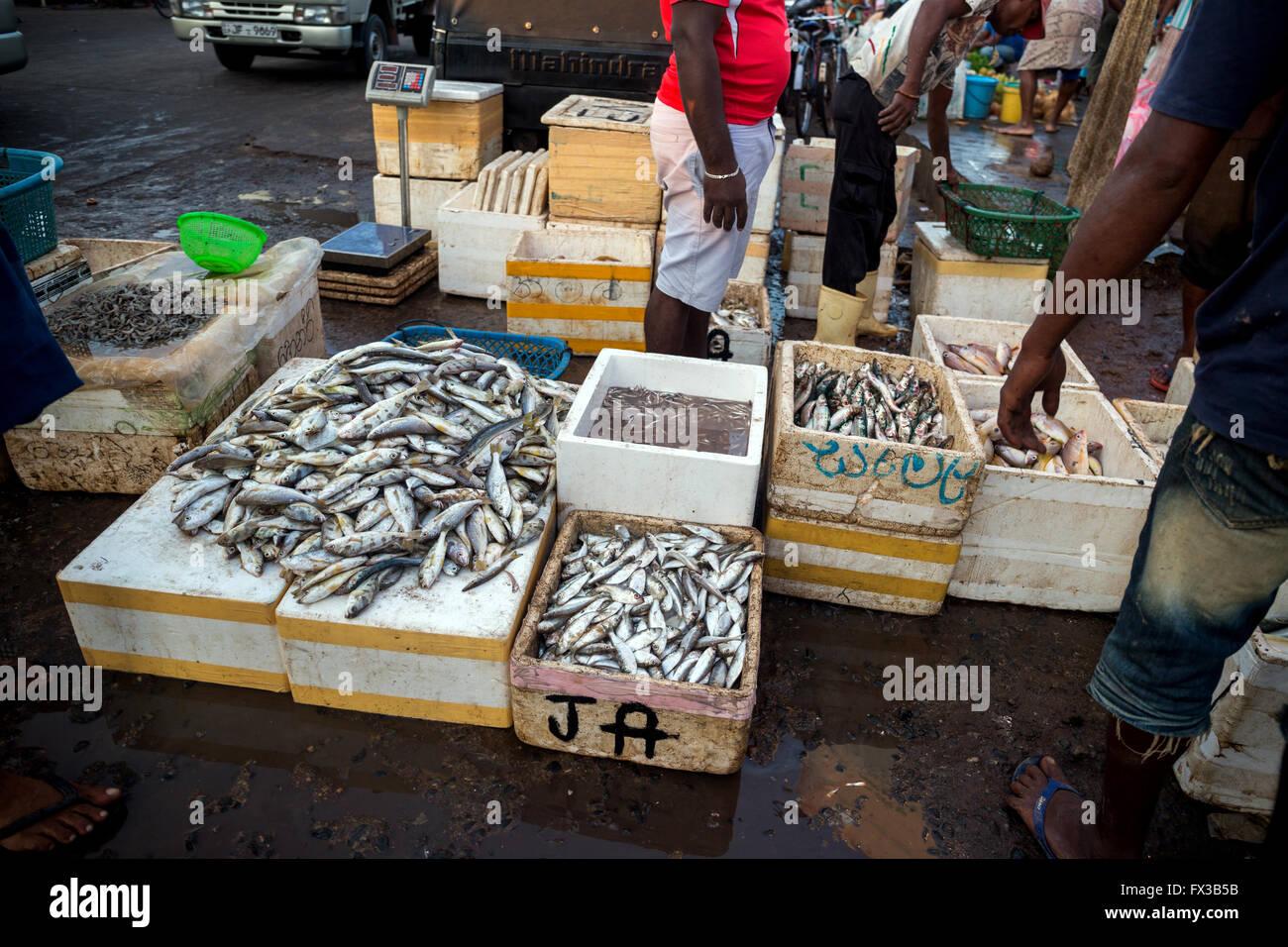 Fish for sale at Negombo fish market (Lellama fish market), Negombo, Sri Lanka, Asia Stock Photo