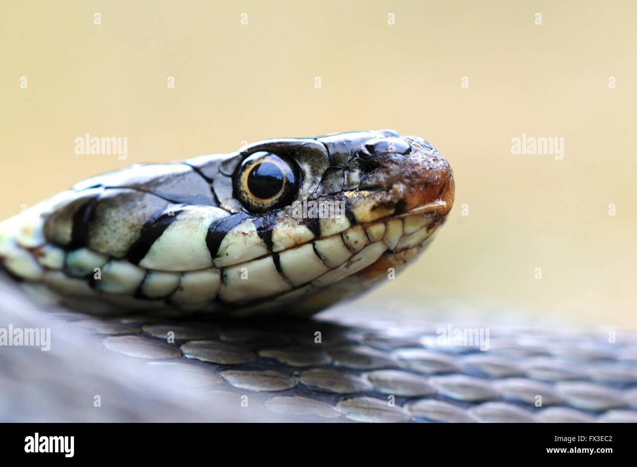 Coiled and alert grass snake. Dorset, UK July 2010 - Stock Image