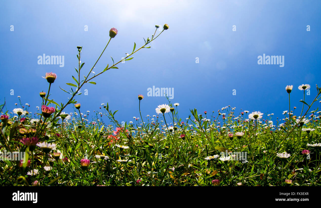 Spring flowers blooming on a blue sky background - Stock Image