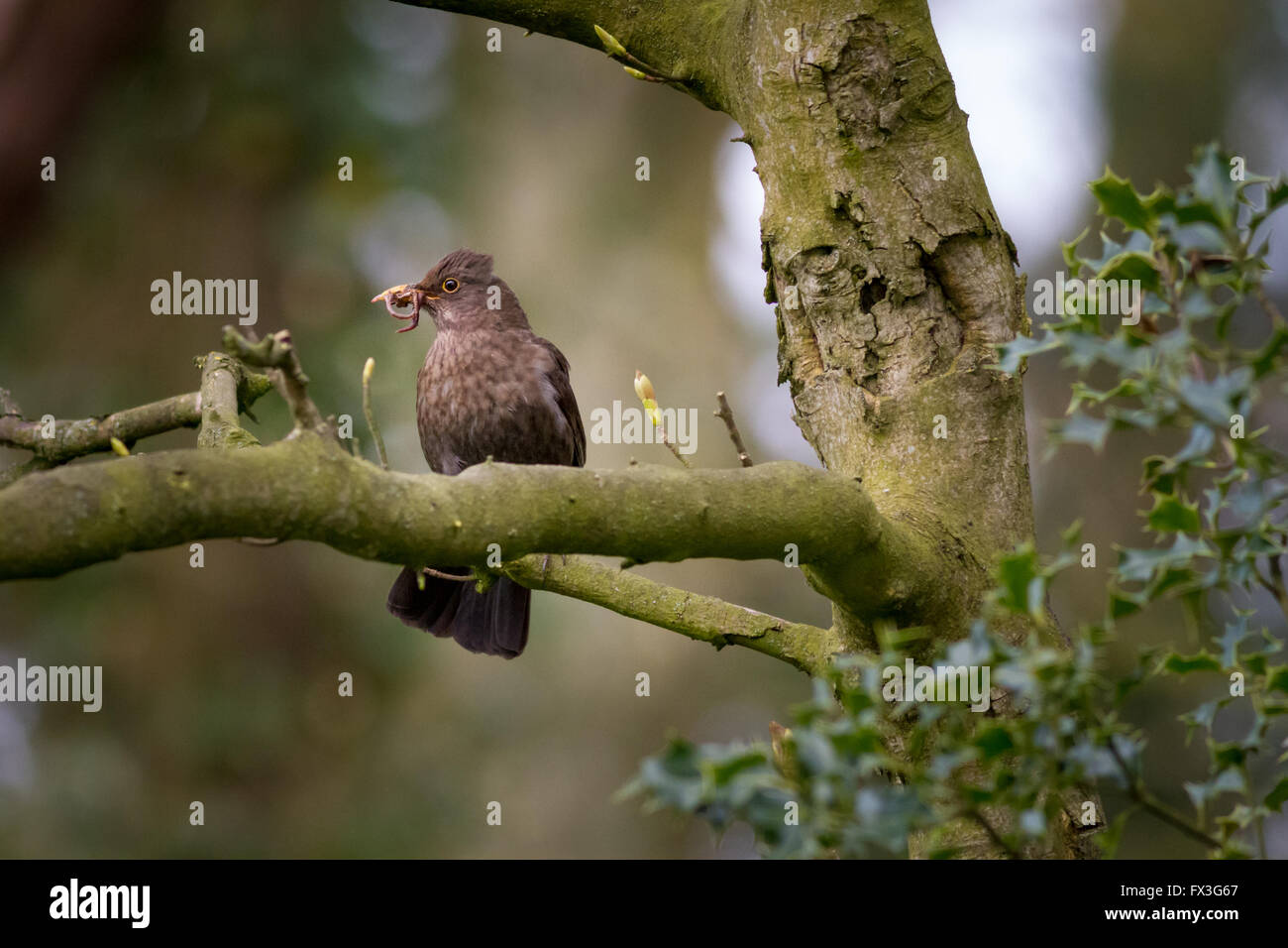 Female blackbird with a mouthful of worm for its young, UK - Stock Image