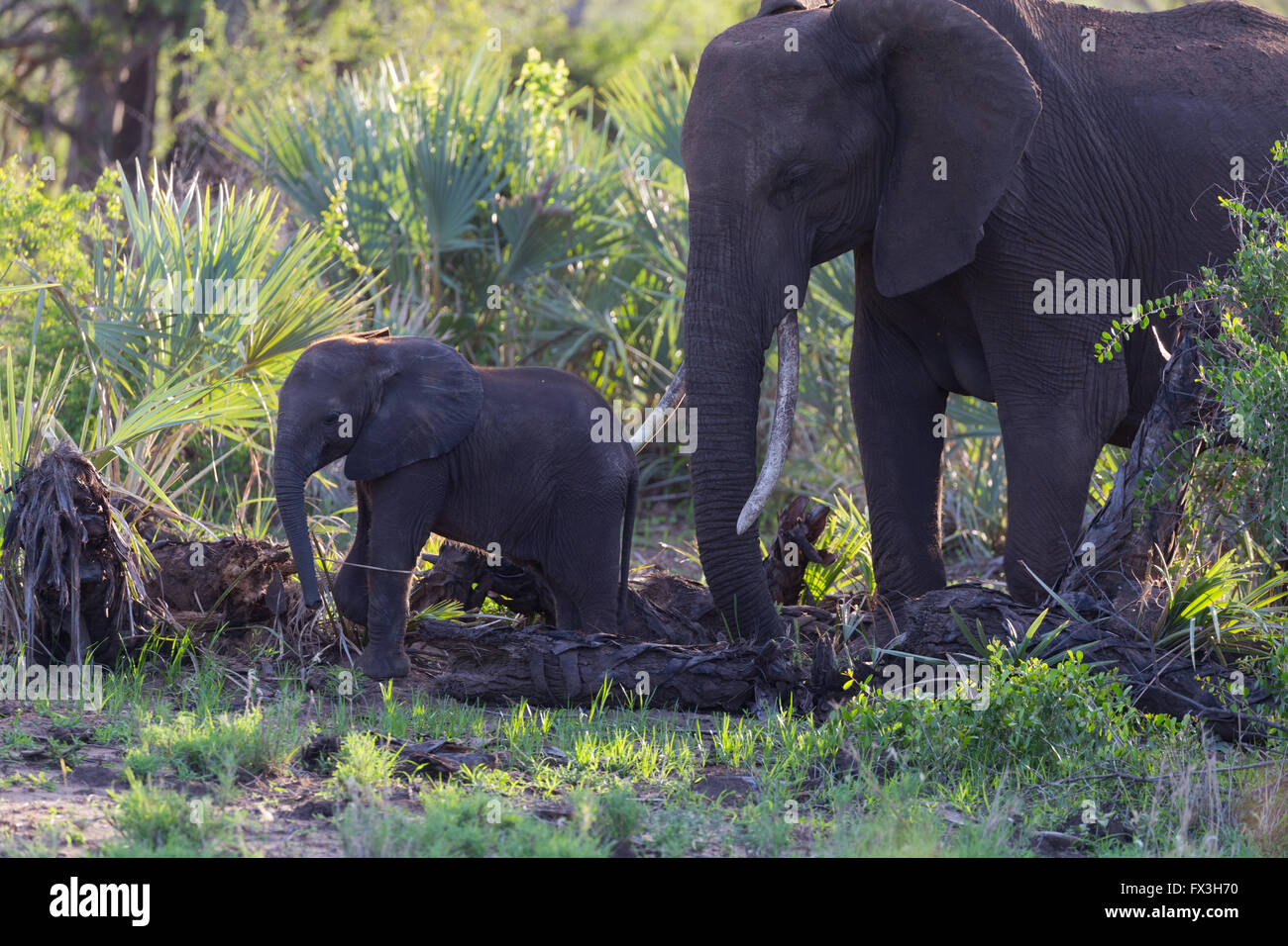 Mother African Elephant (Loxodonta africana) with juvenile calf Stock Photo