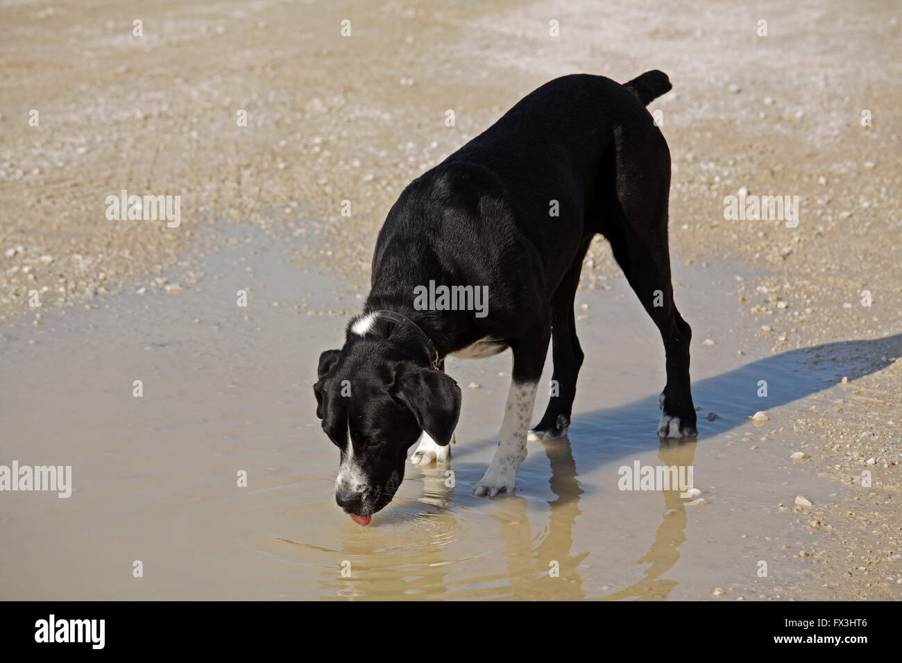 Dog drinking water from a puddle - Stock Image