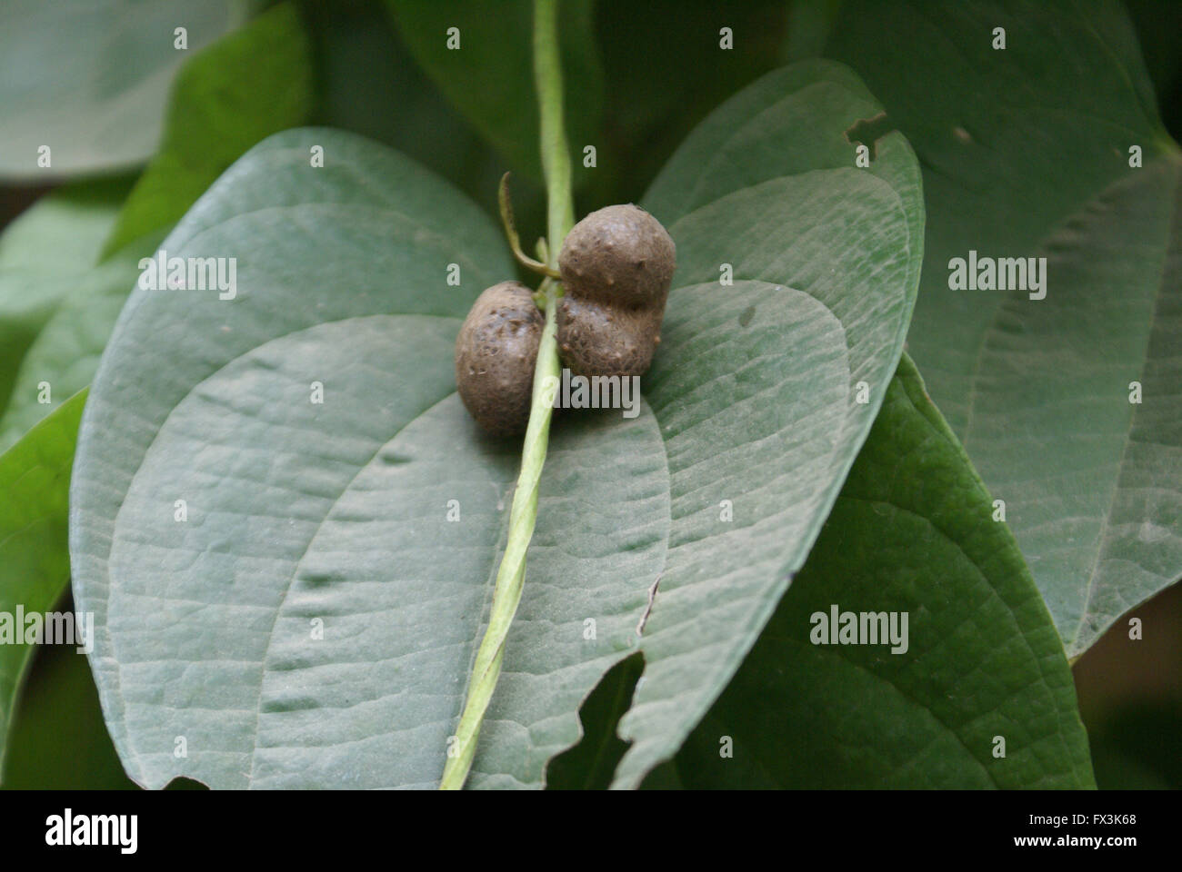 Dioscorea alata, purple yam, tuberous root vegetable with climbing planrs with heart shaped leaves, globose aerial - Stock Image