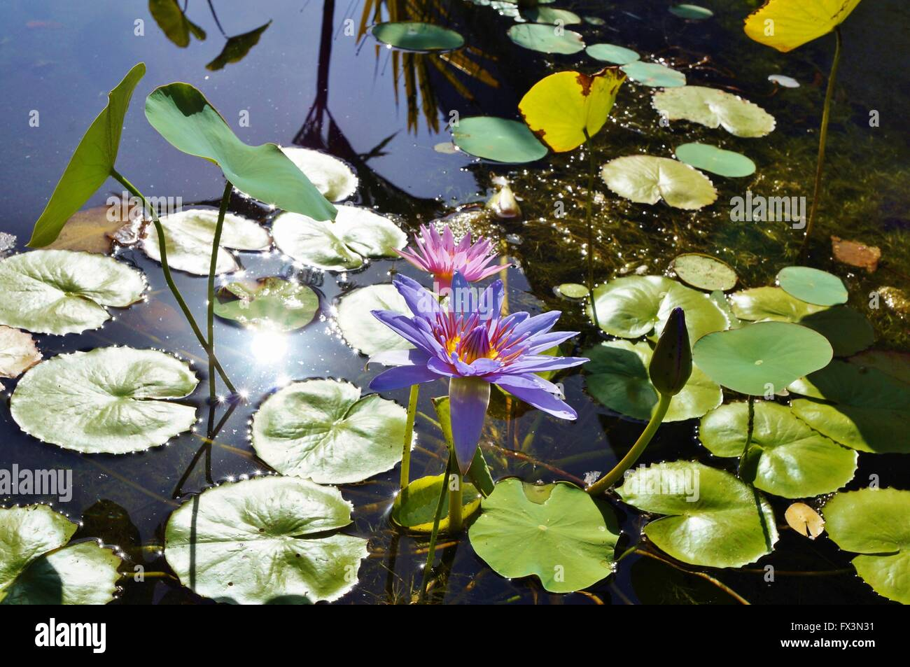 Lotus Aquatic Waterlily Flowers In A Pond In Hawaii Stock Photo