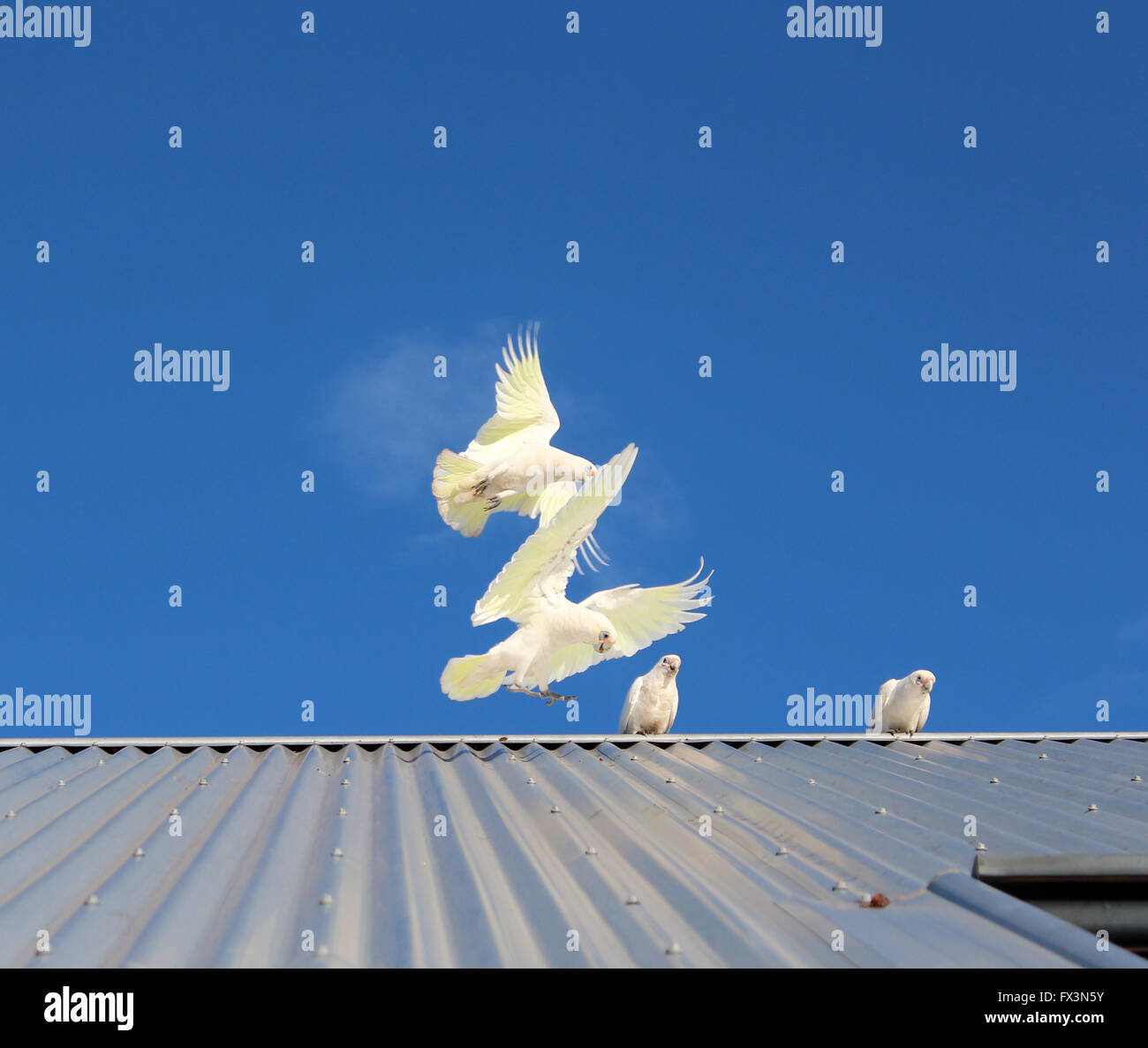 Australian white  corellas flying above an iron roofed house  in early autumn  are comical and amusing  . - Stock Image