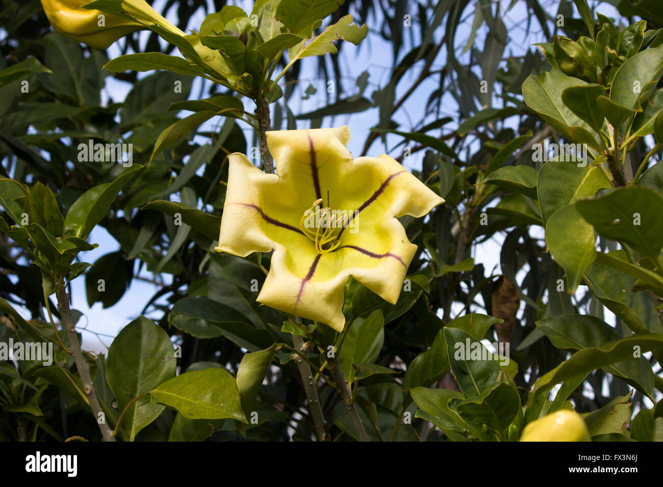 Cup shaped yellow flowers stock photos cup shaped yellow flowers large yellow flower of solandra maxima cup of gold vine golden chalice vine mightylinksfo
