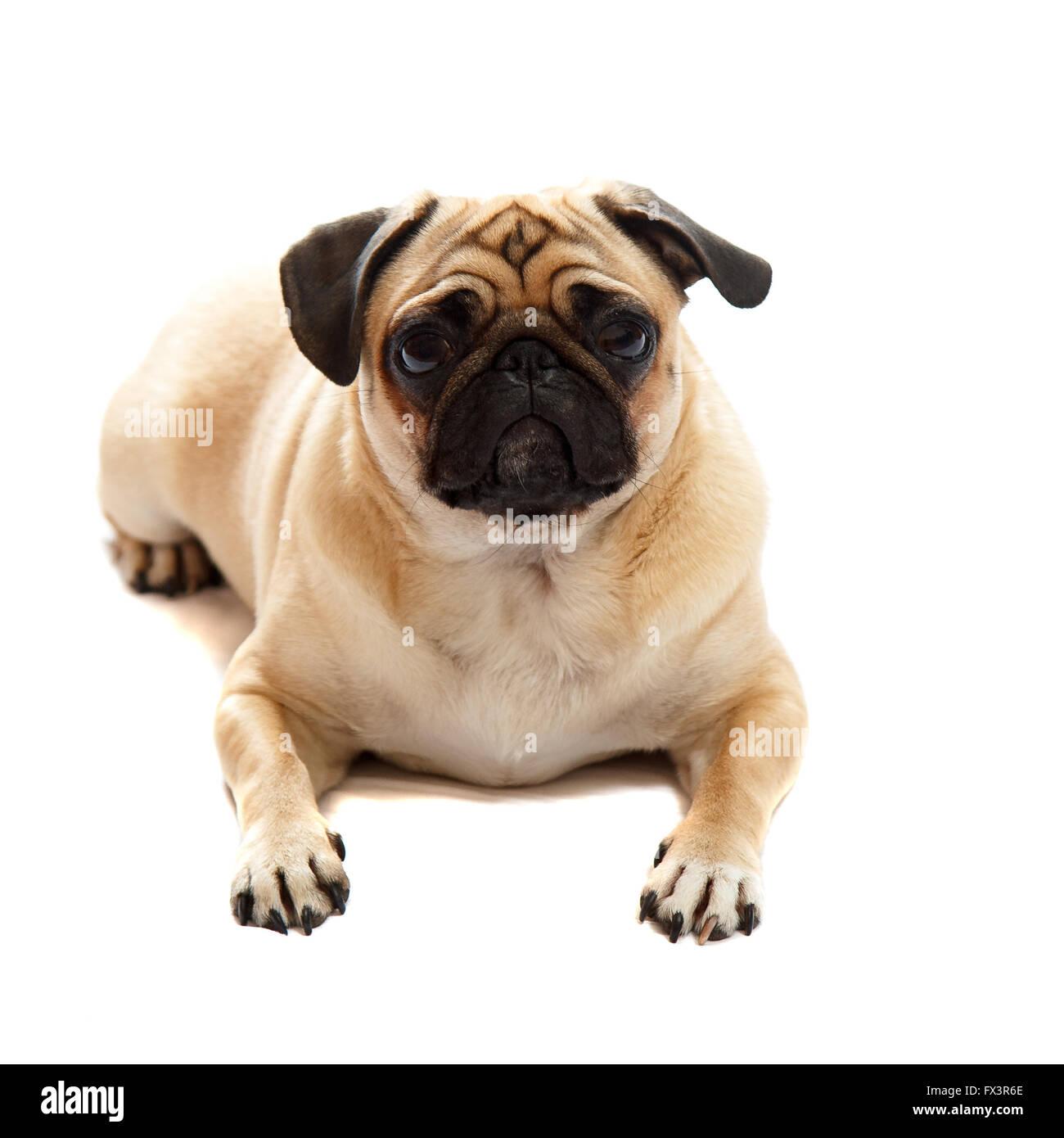Pug laying down - Stock Image