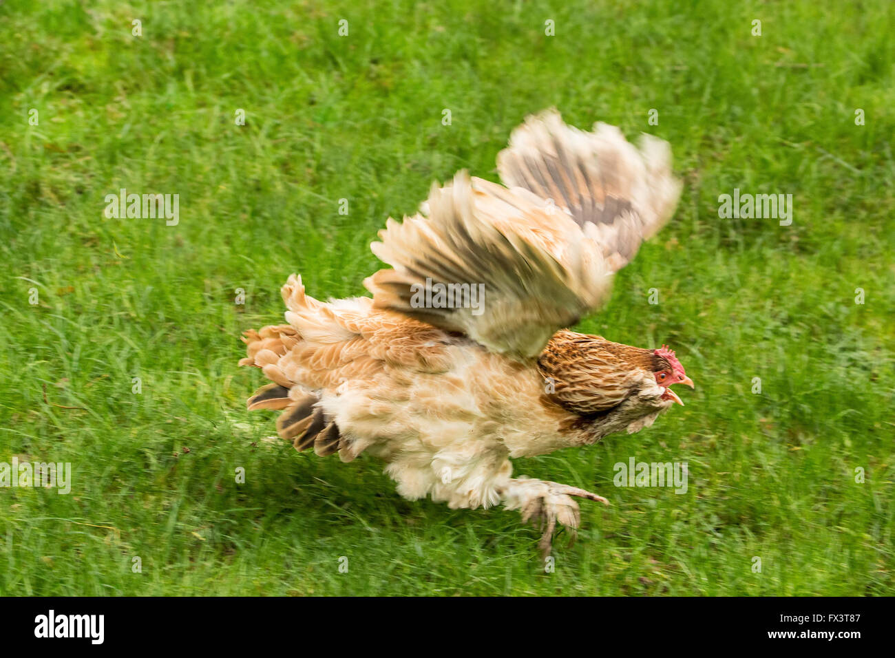 A Salmon Faverolles chicken was fleeing for its life as it was being chased by a mischievous puppy in his backyard - Stock Image