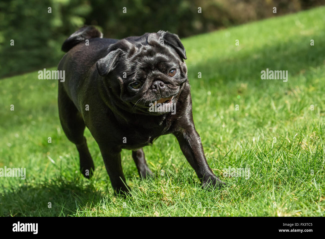 Kirby, a black Pug, walking in his yard in Redmond, Washington, USA - Stock Image