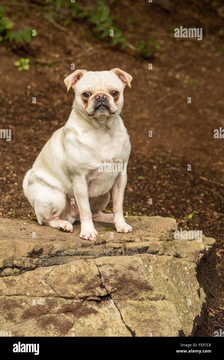 Lewee, a white Pug, posing on a rock in his yard in Redmond, Washington, USA - Stock Image